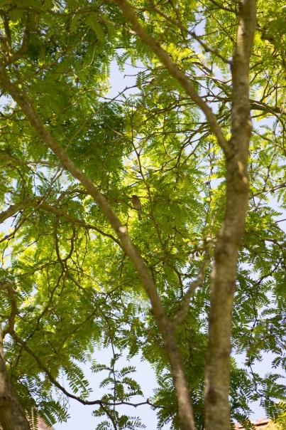 gleditsia triacanthos 'sunburst'-1