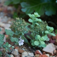 Geranium 'Renardii', Sedum spectabile 'Iceberg' et Acanthe à feuilles molles