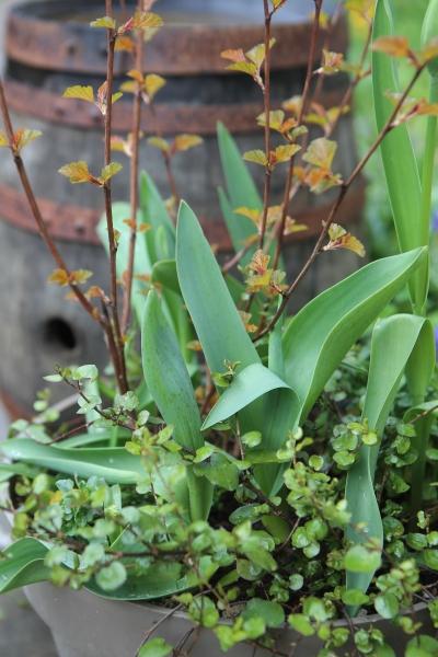 Physocarpus 'Diable d'Or', Muehlenbeckia et Tulipes